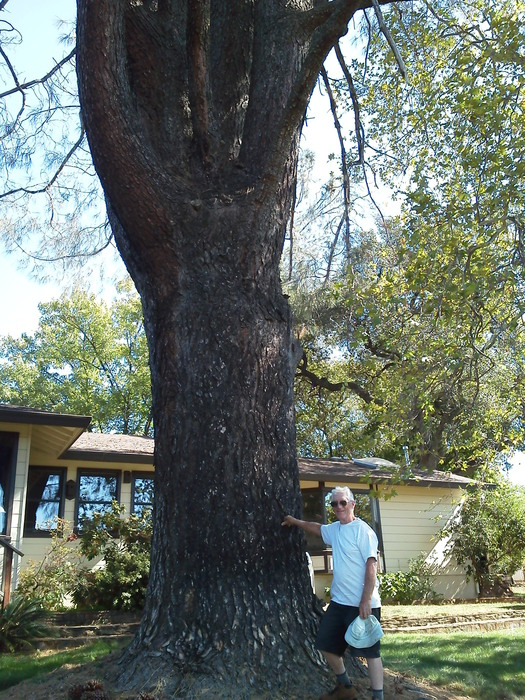 Bill Reid in front of an enormous California Foothill Pine tree